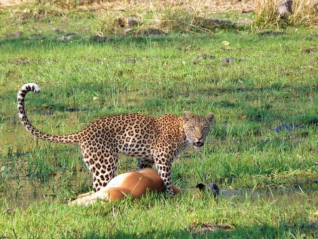 Leopardo cazando un impala en Moremi (Botswana)
