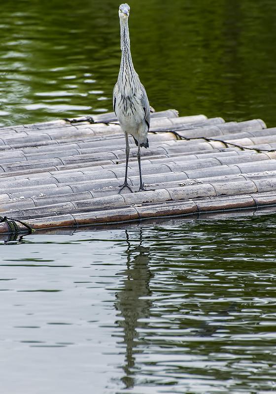 Hiroshima grey heron