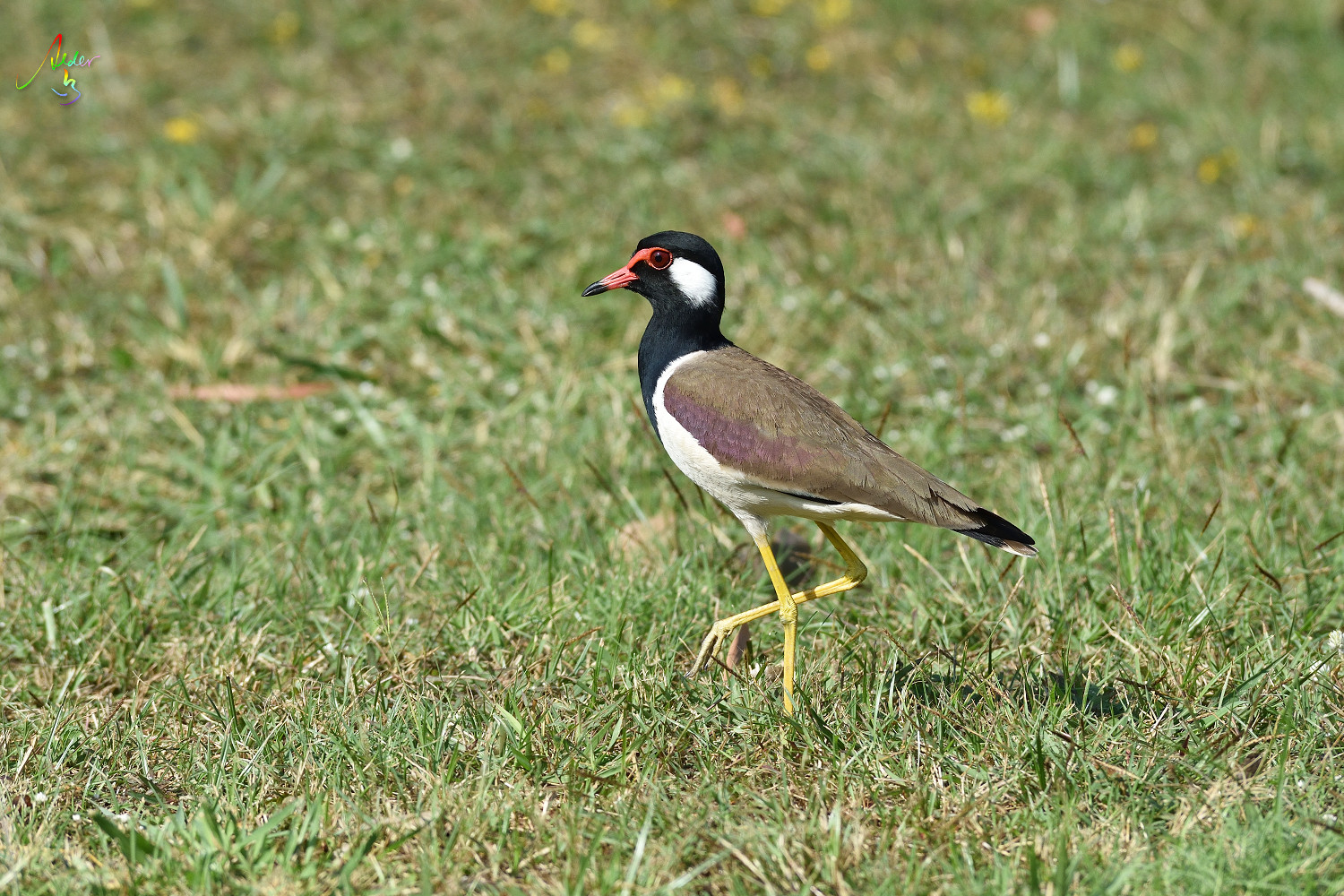 Red-wattled_Lapwing_8867