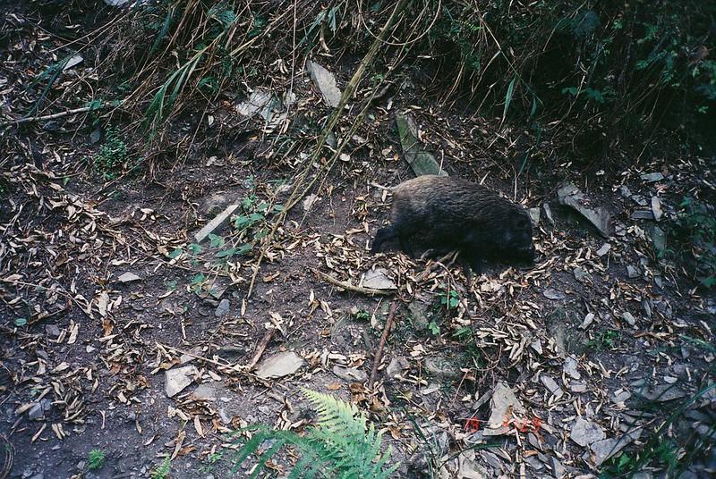 野外的山豬也會侵入農田造成損失。圖片來源:南投林區管理處