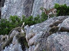Les mouflons de Manzaghja