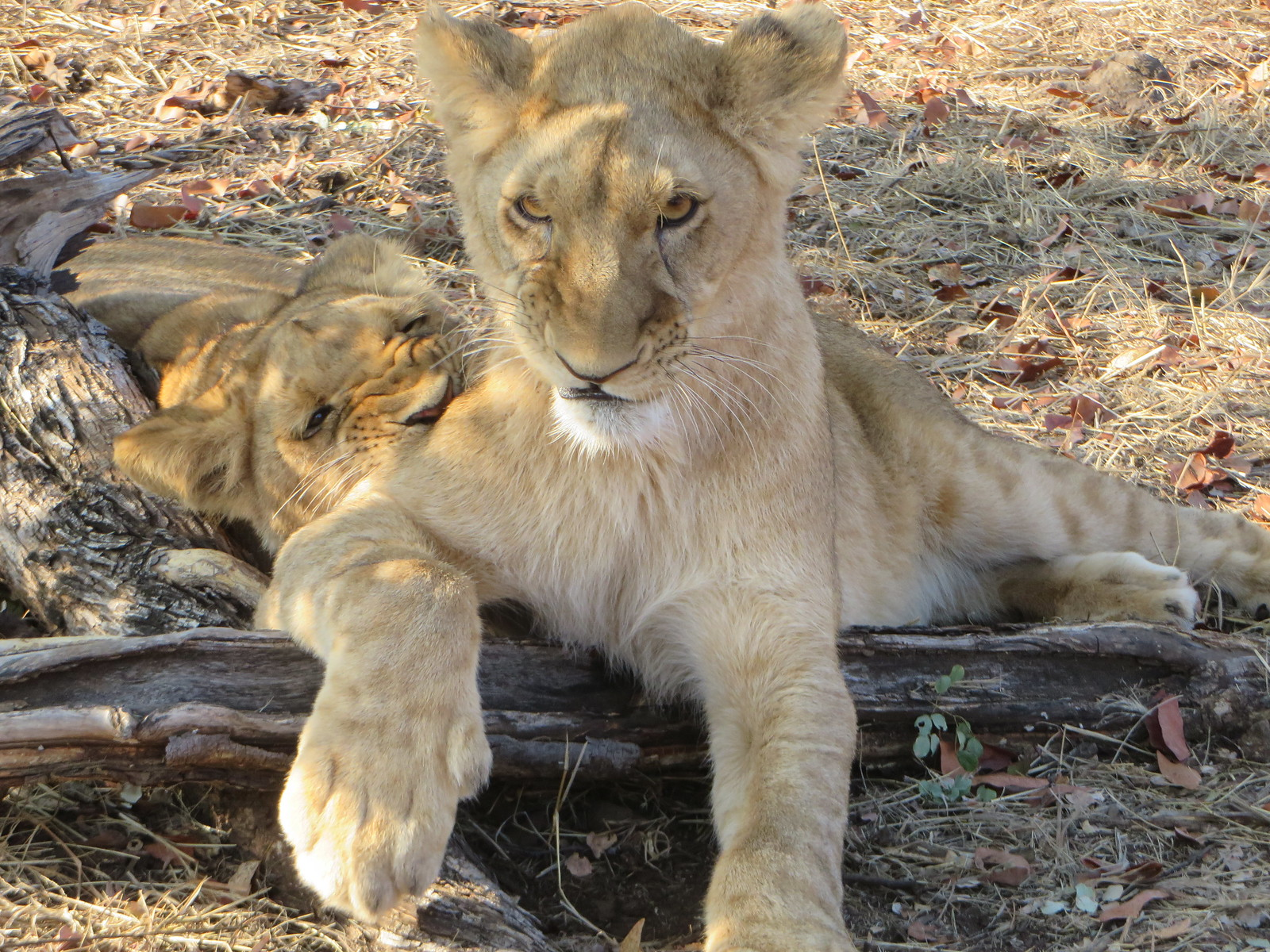 My favorite expression the lion cub made when his sibling was nipping at his leg for fun.