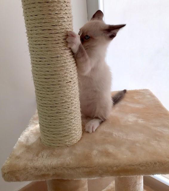 Musa, gatita Snowshoe extrovertida y activa nacida en Agosto´15, en adopción. Valencia. ADOPTADA. 21899654100_4386fcd50b_z
