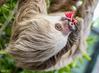 Hoffmann's two-toed sloth Gamboa Wildlife Rescue pandemonio 2017 - 26 | by Eva Blue