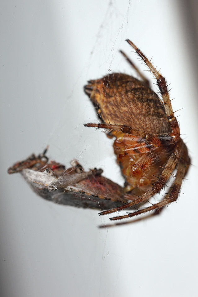 Orb web spider with dish of the day | Orb web spider with ...