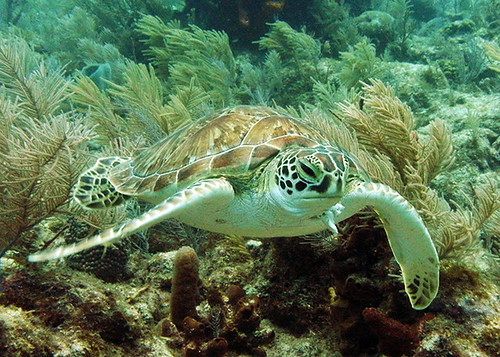 hawksbill sea turtle up close snorkel with  key west sailing adventure | by keywestsailingadventure