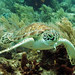 hawksbill sea turtle up close snorkel with  key west sailing adventure