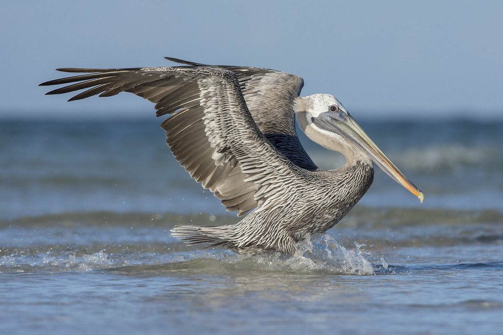 Brown Pelican Brown Pelican Pelecanus Occidentalis Man Flickr