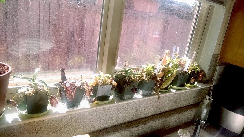 Nepenthes in the windowsill.