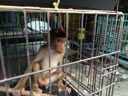 Baby macaque in cage - Jatinegara Market, Jakarta, Java, Indonesia | by Animal People Forum