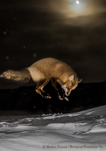 Red Fox Jumping Under The Moon 4846 Part Of My Fox