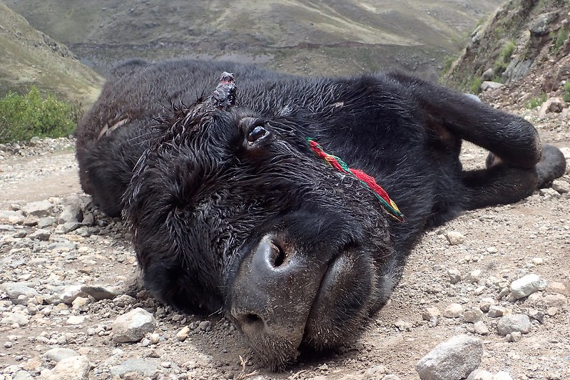 Una pobre vaca despeñada en medio del camino.
