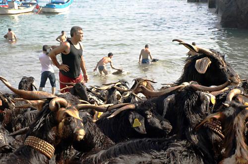 Goat bathing, San Andres, Puerto de la Cruz, Tenerife