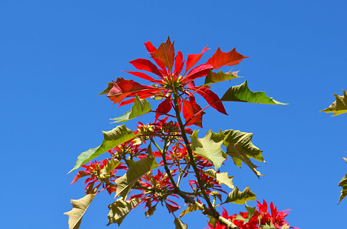 Poinsettias and blue skies at Christmas, Orotava Valley, Tenerife