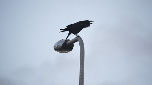 Raven on Lamp Post | by benpholden