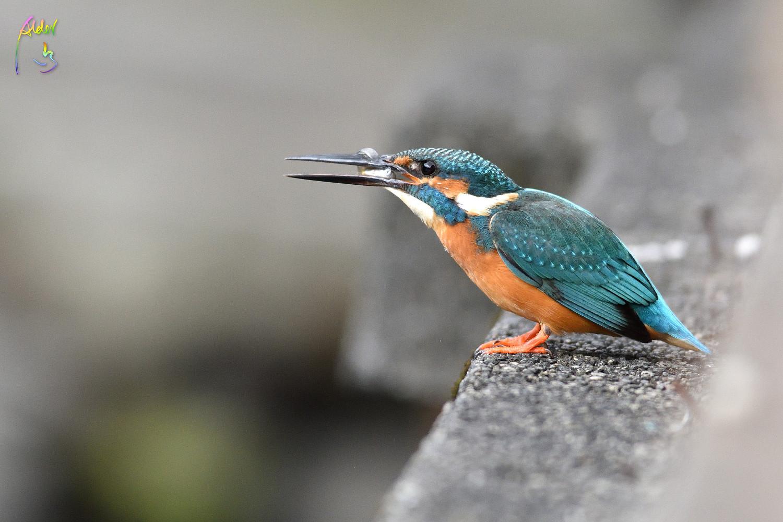 Common_Kingfisher_0796