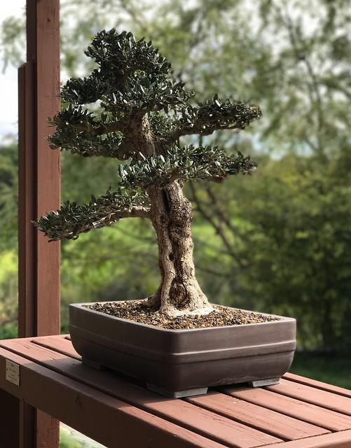 Olive bonsai.