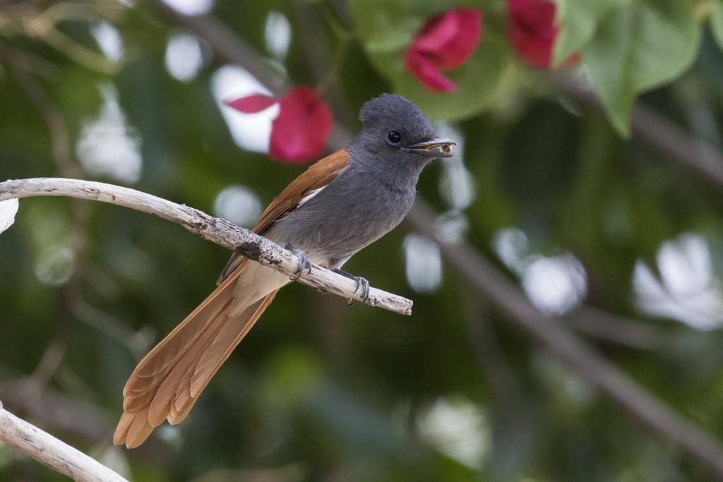 African Paradise Flycatcher  Terpishone Viridis