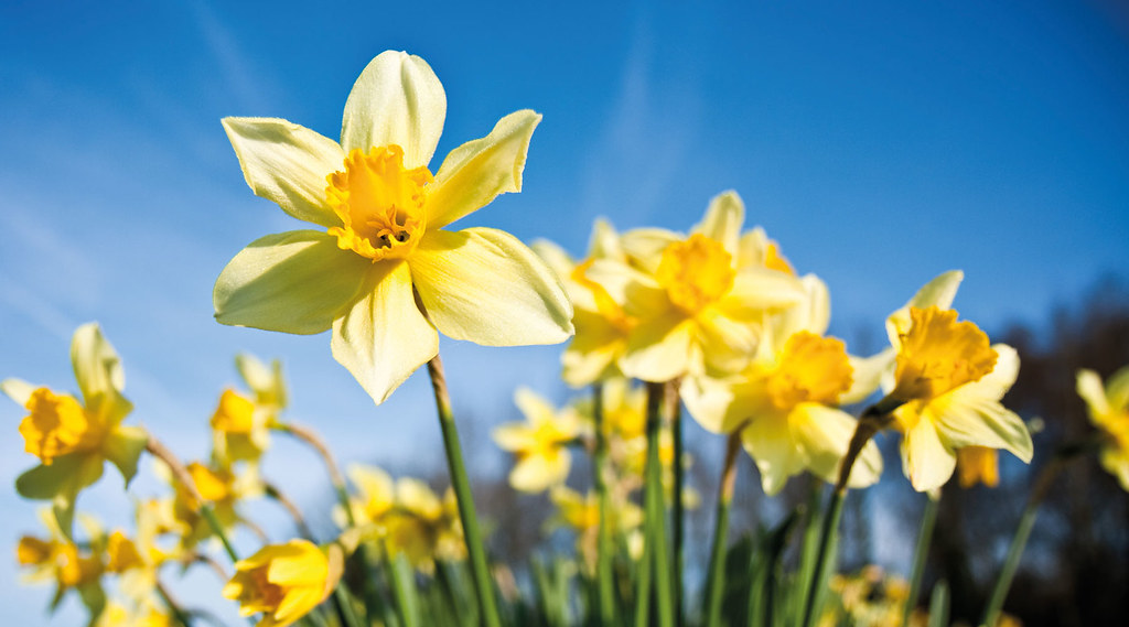 A close-up on a cluster of daffodils, with blue sky in the background.