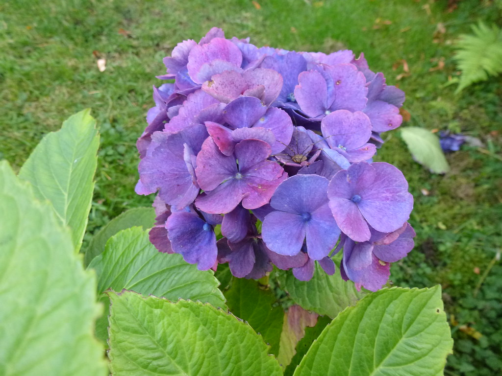 Blue hydrangea summer garden plant flower bush green lea flickr by mara 1 blue hydrangea by mara 1 izmirmasajfo