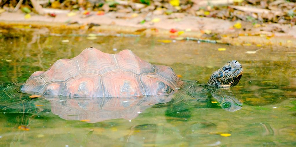 Galapagos Tortoise_5