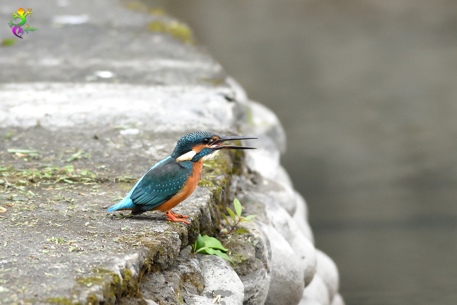Common_Kingfisher_9564