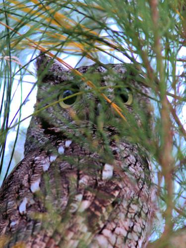 Eastern Screech-Owl 20170121