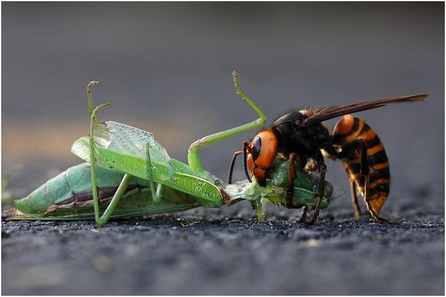 Hornet Vs Praying Mantis Hornet Vs Manti...