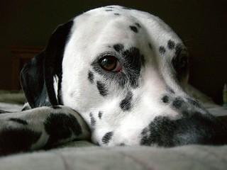 Most Loyal Dog Breeds Uk