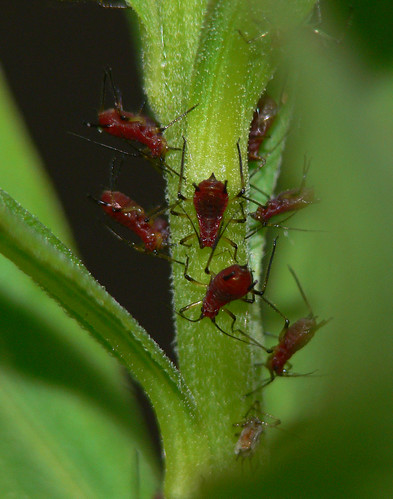 Aphids Hanging Upside Down | by BugMan50