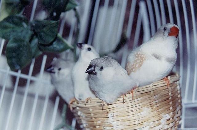 Frankie and his three baby girls (White Zebra Finches ...