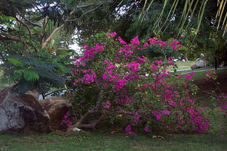 Bougainvillea | by Joyous!