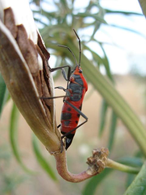 Milkweed Bug | A Large Milkweed Bug on a Narrow-leaved ...