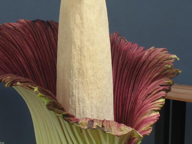 Amorphophallus titanum corpse flower at bbg the - Western mass craigslist farm and garden ...