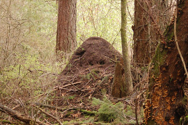 It's ALIVE!!!! | This is one of about a dozen ant hills I sa… | Flickr