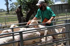 Injecting sheep