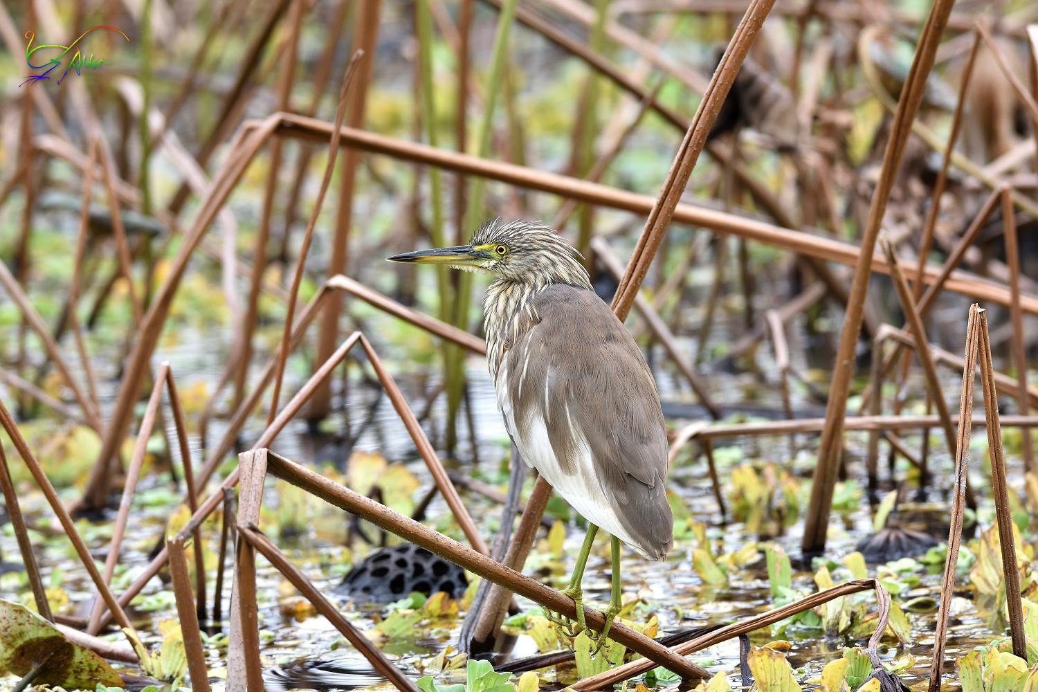 Chinese_Pond_Heron_3651