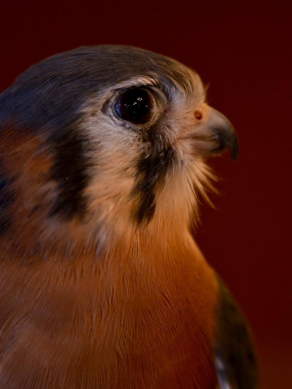 OWL - Kestrel