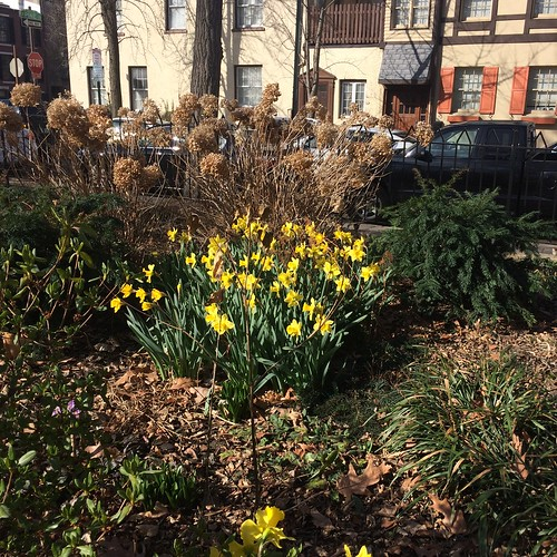 daffodils in Fitler Square, February 25