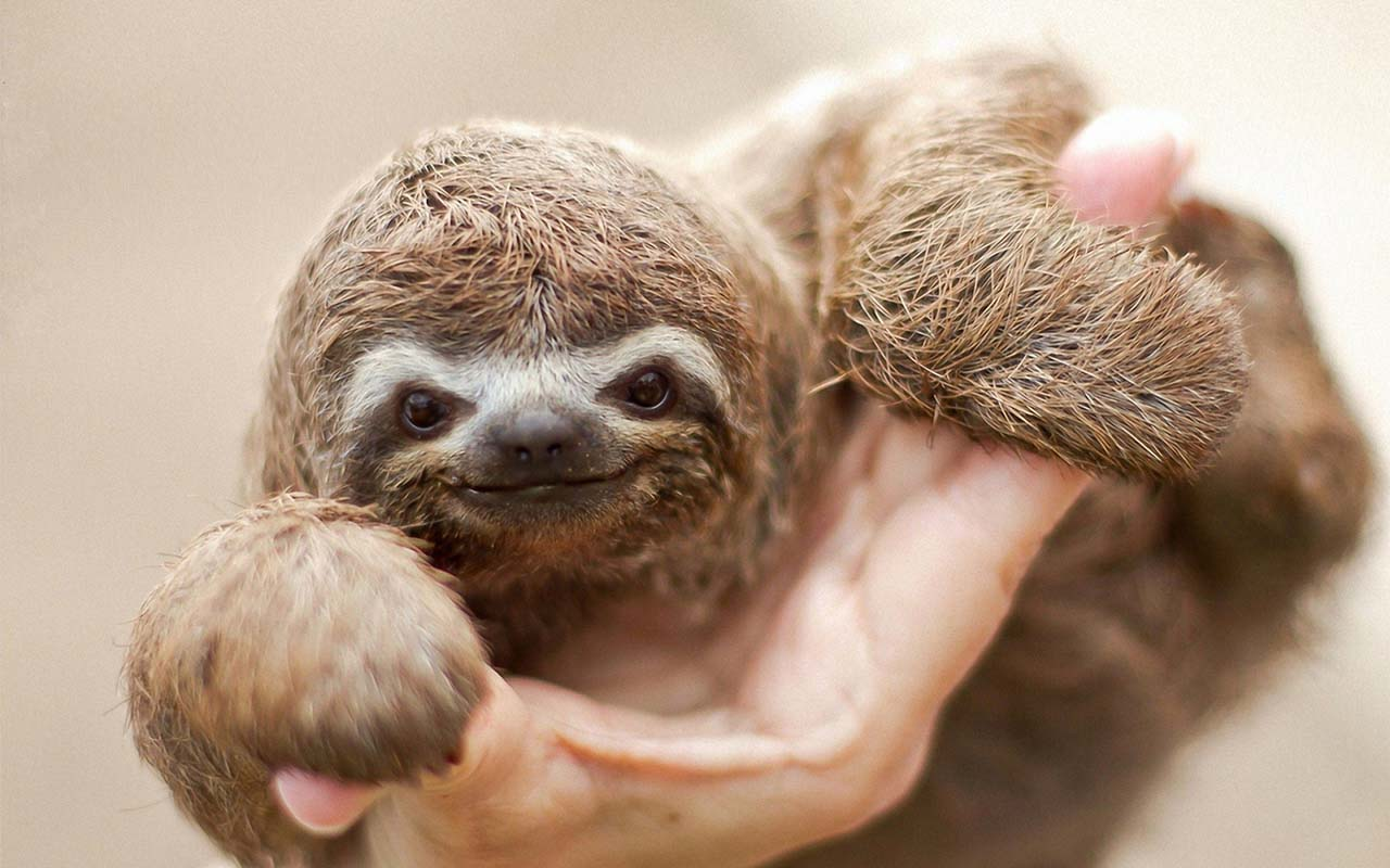27 Adorable & Tiny Animals That Are Too Cute To Handle #22: Sloth