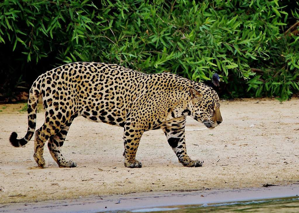 wild male jaguar in brazil cuiaba river the pantanal wild flickr. Black Bedroom Furniture Sets. Home Design Ideas