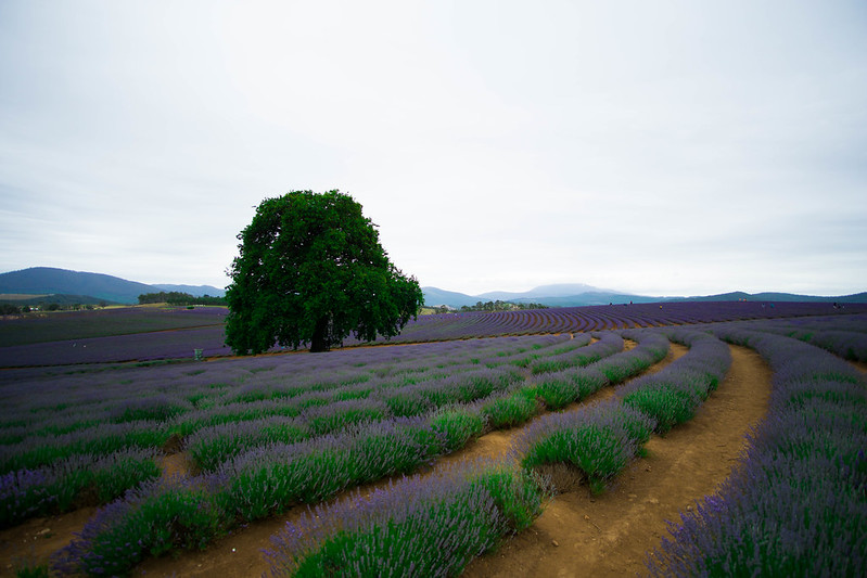 Bridestowe Lavender Estate