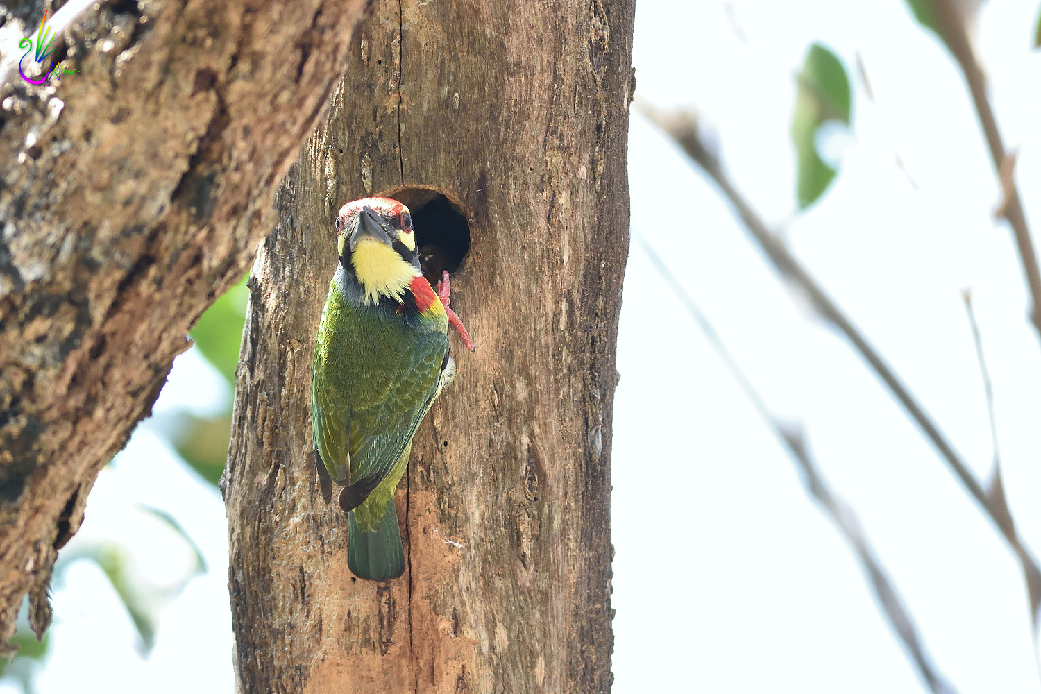Coppersmith_Barbet_6745
