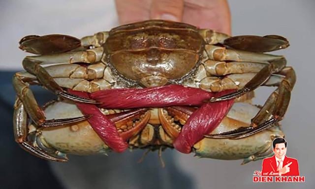 live mud crab 55