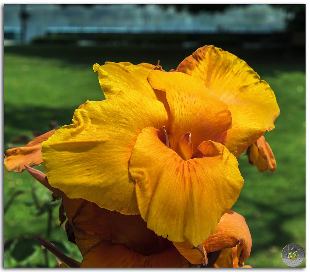 Yellow Oange Canna Flower Beautiful Yellow Orange Can Flickr