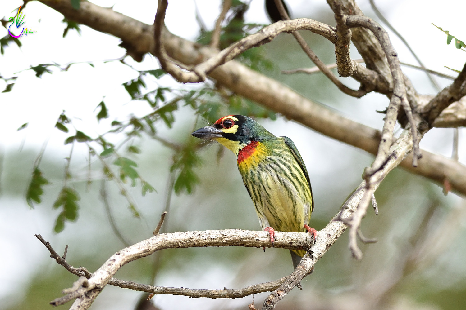 Coppersmith_Barbet_7084