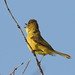 Dark-capped yellow warbler, Iduna natalensis, Vumba, Zimbabwe