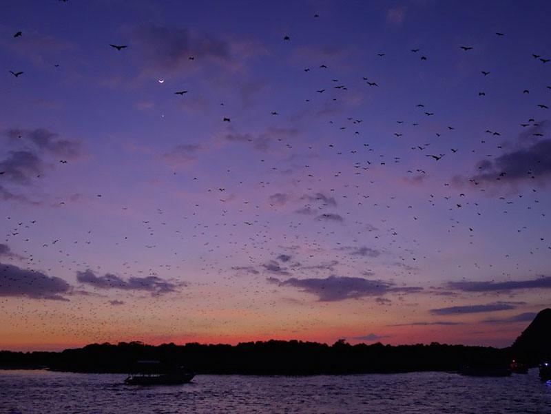 kalong bats