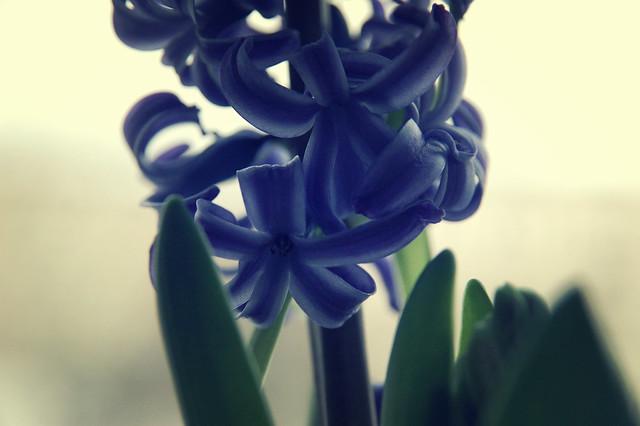 l'hyacinthe