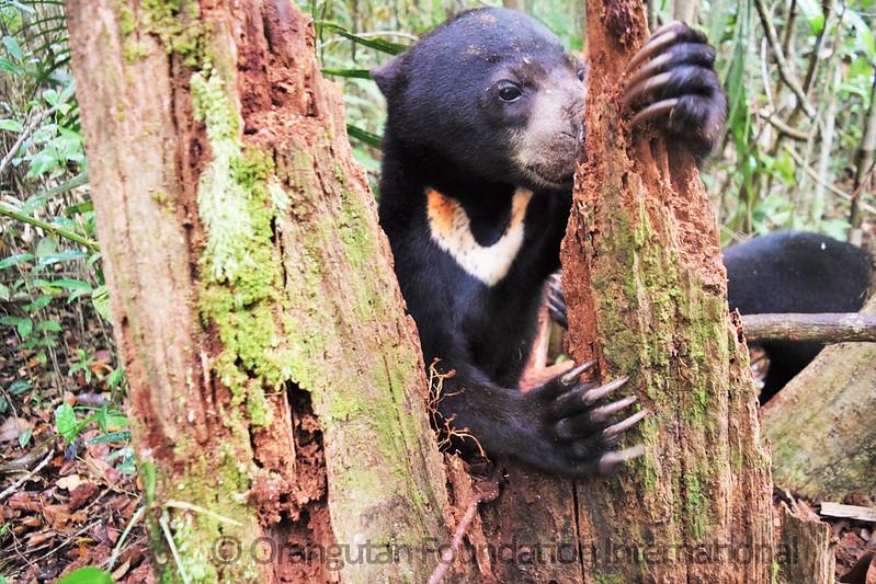 17.09.16._Sun Bear Cub Release_CGD_19_John Kobar_wm